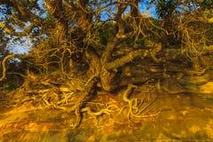 le radici degli alberi sulla scogliera Fotografie Stock