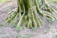Le radici dell'albero nel muschio immagini stock