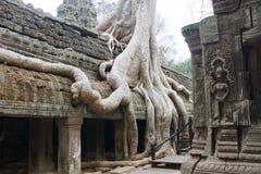 Le radici dell'albero sopraffanno il tempio antico Fotografie Stock Libere da Diritti