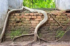 Le radici dell'albero sopraffanno le pareti del tempio antico Fotografie Stock
