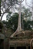 Le radici dell'albero sopraffanno le pareti del tempio antico Immagini Stock