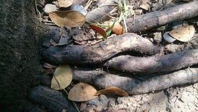 Le radici dettagliano il fondo naturale di struttura Fotografia Stock
