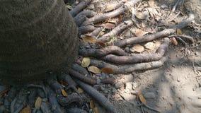 Le radici dettagliano il fondo naturale di struttura Immagine Stock Libera da Diritti