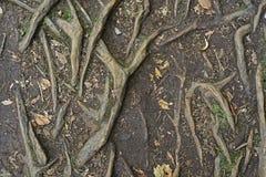 Le radici di un albero Immagini Stock Libere da Diritti