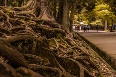 Le radici di un albero con un fondo confuso nei toni verdi immagine stock libera da diritti