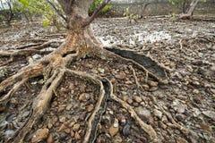 Le radici di vecchio albero della mangrovia sulla spiaggia della Cambogia contano Fotografie Stock