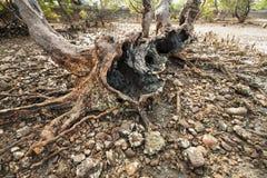 Le radici di vecchio albero della mangrovia sulla spiaggia della Cambogia contano Fotografia Stock Libera da Diritti