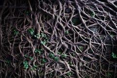 Le radici invadono in scogliera fotografie stock libere da diritti