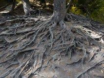 Le radici maestose di grande albero hanno esposto dovuto erosione del suolo Fotografie Stock