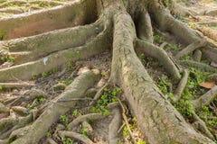 Le radici multiple di un albero Immagine Stock