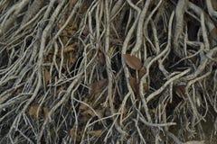 Le radici spesso copsy dell'albero sono caseb Fotografia Stock