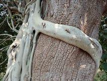 Le radici sviluppate sopra l'albero, radici dell'albero dell'albero scortecciano la struttura, carta da parati del fondo della cr fotografia stock