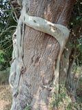 Le radici sviluppate sopra l'albero, radici dell'albero dell'albero scortecciano la struttura, carta da parati del fondo della cr fotografia stock libera da diritti