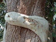 Le radici sviluppate sopra l'albero, radici dell'albero dell'albero scortecciano la struttura, carta da parati del fondo della cr immagini stock