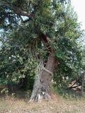 Le radici sviluppate sopra l'albero, radici dell'albero dell'albero scortecciano la struttura, carta da parati del fondo della cr immagini stock libere da diritti