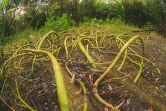 Le radici terribile lunghe della natura gradiscono i gambi di tentacoli fotografia stock libera da diritti