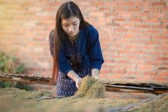 Le ragazze secche di laotiano delle foglie del tabacco stanno scegliendo la qualità della c Immagine Stock