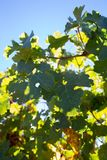 Le raisin de cuve part sous un jour de soleil chez la Californie Image libre de droits