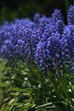 Le raisin Hyacinth Flowers image libre de droits