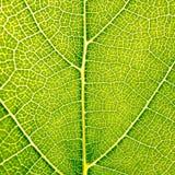 Le raisin laisse à fond de feuille de texture le macro plan rapproché de feu vert Image stock