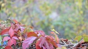 Le raisin rouge d'automne laisse le balancement dans le vent sur un fond brouillé d'un jour nuageux clips vidéos