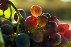 Le raisin s'est levé image libre de droits