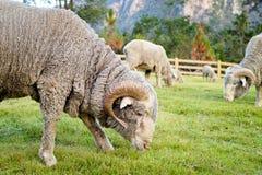 Le Ram de Saxon Merino, mangent des herbes sur le Moutains Photographie stock libre de droits
