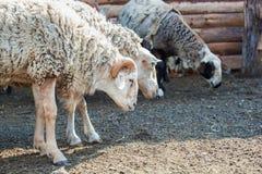 Le Ram et un groupe de moutons frôlant derrière la barrière dans le corral cultivent photographie stock libre de droits