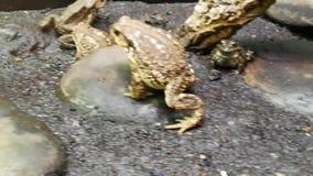 Le rane appartengono all'ordine del Anuras che è costituito da una grande diversità delle specie archivi video