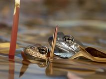 Le rane si accoppiano in acqua Immagine Stock
