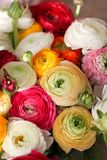 Le RANUNCULUS BULBOSUS, jaillissent groupe de fleurs coloré, femmes jour concept de carte postale du 8 mars Images stock