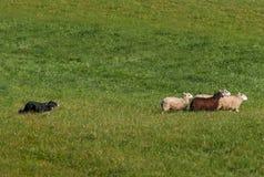 Le rassemblement du chien déplace le groupe du droit de Bélier d'Ovis de moutons photo stock