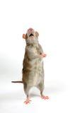 Le rat de Brown prie devant le blanc Photos stock
