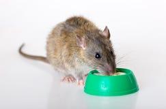 Le rat domestique mange du yaourt Photos stock