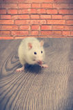 Le rat mange Image stock