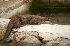 Le rat musqué est sorti de l'eau et du mensonge sur la roche Photo stock