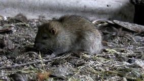 Le rat part clips vidéos