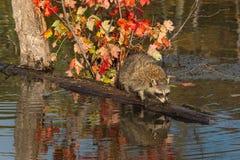 Le raton laveur (lotor de Procyon) renifle à l'étang d'identifiez-vous photographie stock libre de droits