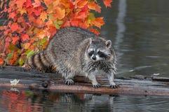 Le raton laveur (lotor de Procyon) se tient sur l'eau d'identifiez-vous photographie stock libre de droits