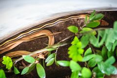 Le ratsnake rayonné, le serpent de rat de copperhead, ou le TR à tête de cuivre photos libres de droits