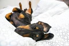 Le razze del bassotto tedesco del cane, nere e si abbronzano, sta trovandosi sulla parte posteriore sul letto Animali domestici h fotografia stock