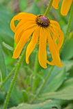 Le recourbement de la fleur noire de chrysanthème images stock
