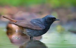 Le redstart noir se tient profondément dans l'étang d'eau photographie stock libre de droits