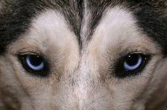 Le regard bleu du chien de traîneau photographie stock libre de droits