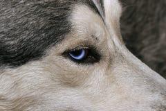 Le regard bleu du chien de traîneau images stock