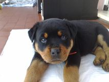 Le regard d'un rottweiler photo stock