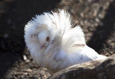 Le regard de la colombe Image stock