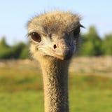 Le regard de la fin curieuse d'autruche  Photographie stock libre de droits