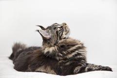 Le regard du beau vstorinu de chat de Maine Coon sur un fond blanc photo stock