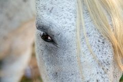 Le regard du cheval blanc Photographie stock